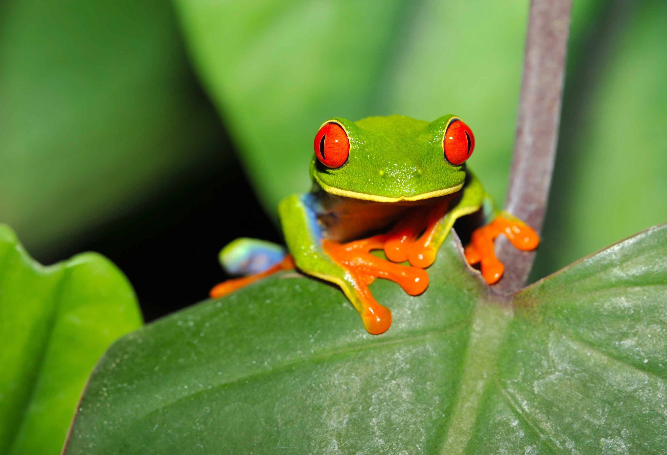 red-eyed-green-tree-leaf-frogcosta-rica2